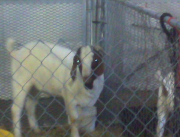 Test Doe 2 - Boer Goat Doe