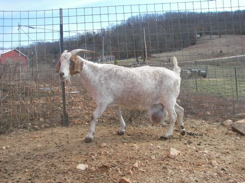 Test White Buck - Boer Goat Buck