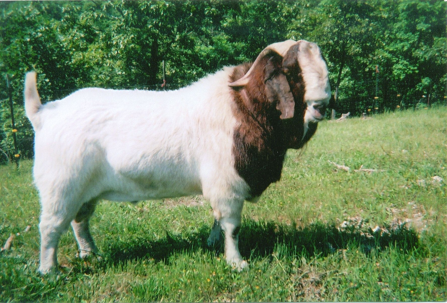 Boer Goats For Sale in Florida from CCFDesign